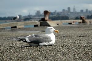 resting gull